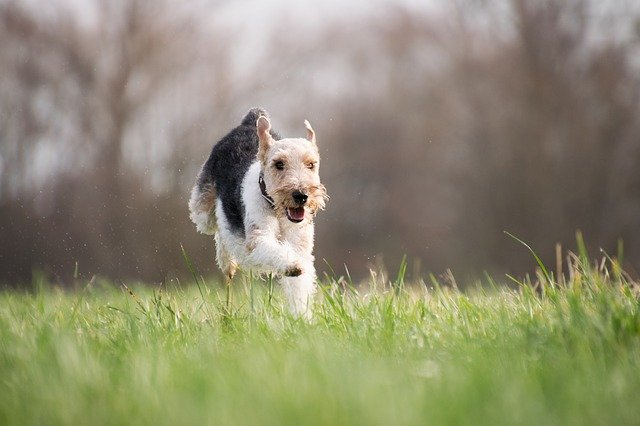 A dog running through the grass is at risk of being bit by ticks carrying Lyme disease.
